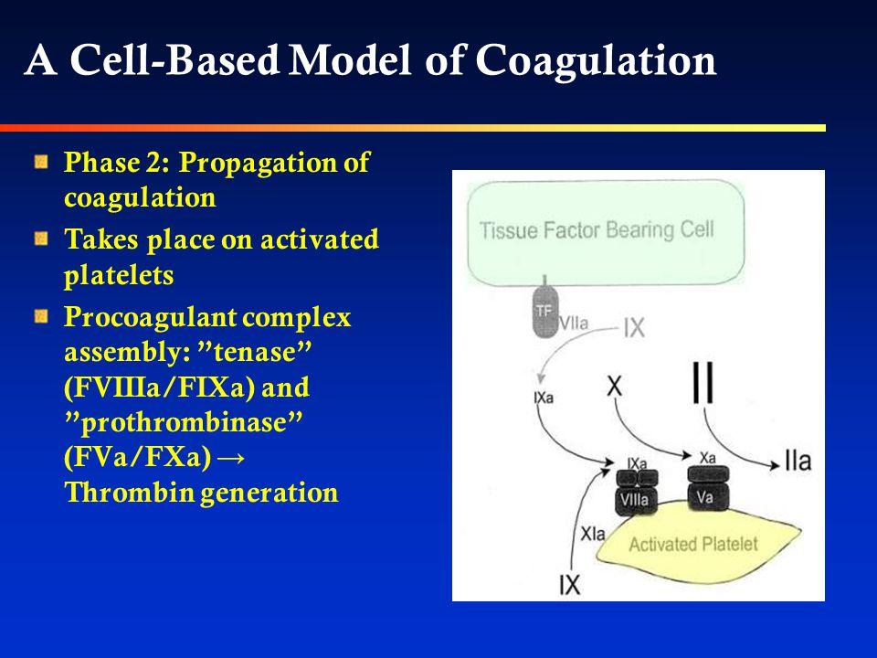 Phase 2: Propagation of coagulation Takes place on activated platelets Procoagulant complex assembly: tenase (FVIIIa/FIXa) and prothrombinase (FVa/FXa) → Thrombin generation A Cell-Based Model of Coagulation