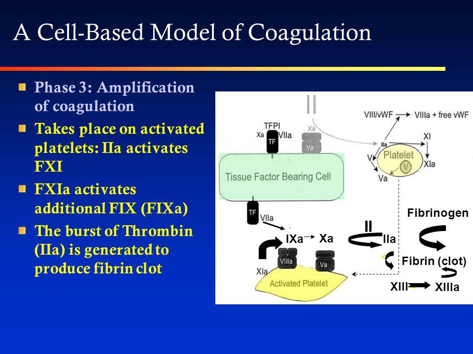 Phase 3: Amplification of coagulation Takes place on activated platelets: IIa activates FXI FXIa activates additional FIX (FIXa) The burst of Thrombin (IIa) is generated to produce fibrin clot IXa Xa II IIa Fibrinogen Fibrin (clot) XIII XIIIa