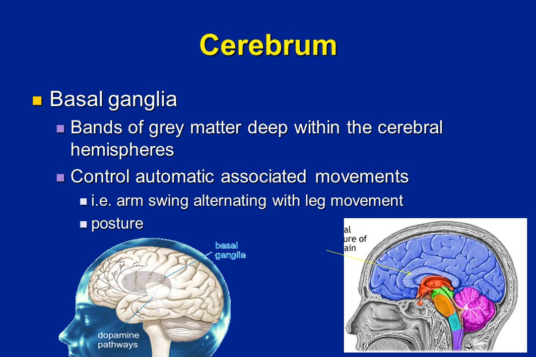 Cerebrum Basal ganglia Basal ganglia Bands of grey matter deep within the cerebral hemispheres Bands of grey matter deep within the cerebral hemispheres Control automatic associated movements Control automatic associated movements i.e.