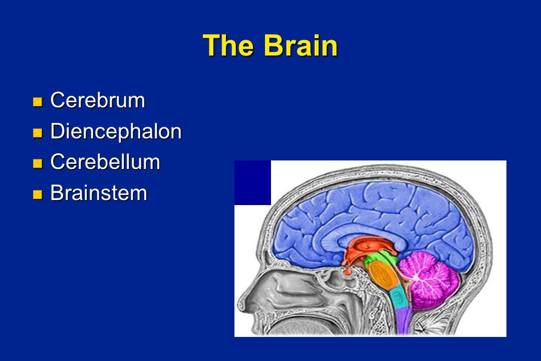 The Brain Cerebrum Cerebrum Diencephalon Diencephalon Cerebellum Cerebellum Brainstem Brainstem