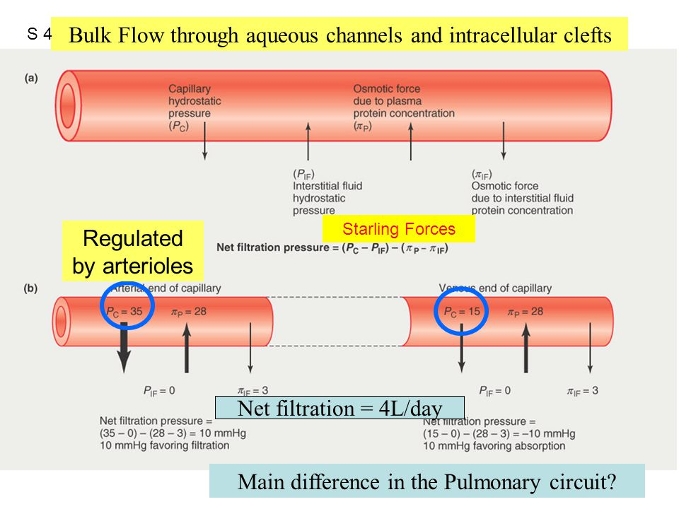 Figure 12.42 Main difference in the Pulmonary circuit? Net filtration = 4L/day Bulk Flow through aqueous channels and intracellular clefts Regulated b