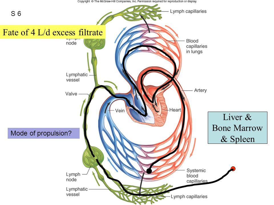 Figure 12.47 Liver & Bone Marrow & Spleen Fate of 4 L/d excess filtrate S 6 Mode of propulsion?