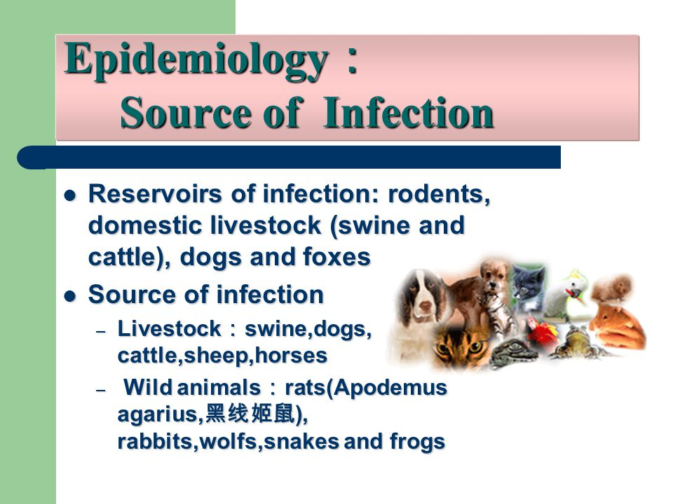Reservoirs of infection: rodents, domestic livestock (swine and cattle), dogs and foxes Reservoirs of infection: rodents, domestic livestock (swine and cattle), dogs and foxes Source of infection Source of infection – Livestock : swine,dogs, cattle,sheep,horses – Wild animals : rats(Apodemus agarius, 黑线姬鼠 ), rabbits,wolfs,snakes and frogs Epidemiology : Source of Infection