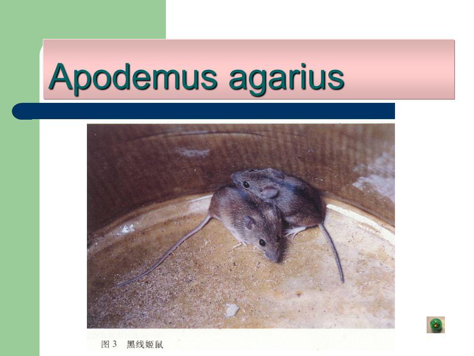Apodemus agarius