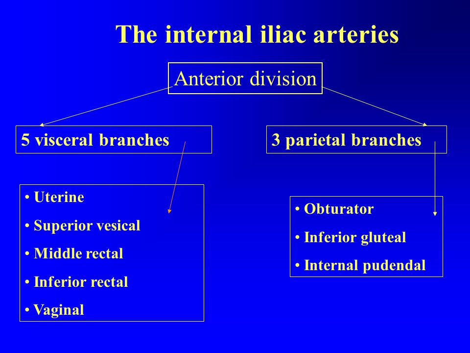 The internal iliac arteries Anterior division 3 parietal branches5 visceral branches Obturator Inferior gluteal Internal pudendal Uterine Superior vesical Middle rectal Inferior rectal Vaginal