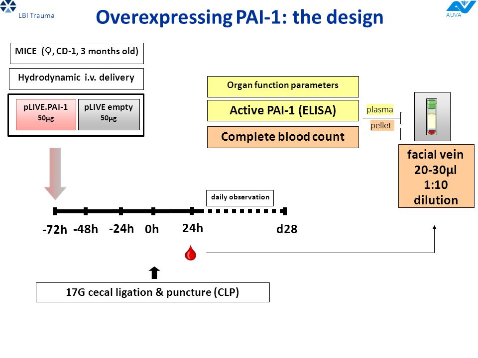 -72h MICE ( ♀, CD-1, 3 months old) Overexpressing PAI-1: the design Hydrodynamic i.v. delivery pLIVE.PAI-1 50µg pLIVE empty 50µg -48h -24h 0h 17G ceca