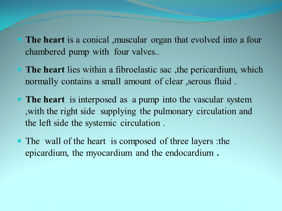 The heart is a conical,muscular organ that evolved into a four chambered pump with four valves.. The heart lies within a fibroelastic sac,the pericard