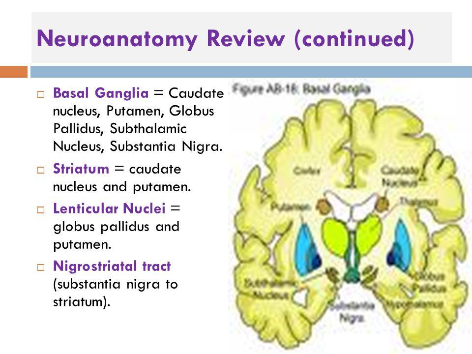 Neuroanatomy Review (continued)  Basal Ganglia = Caudate nucleus, Putamen, Globus Pallidus, Subthalamic Nucleus, Substantia Nigra.  Striatum = cauda