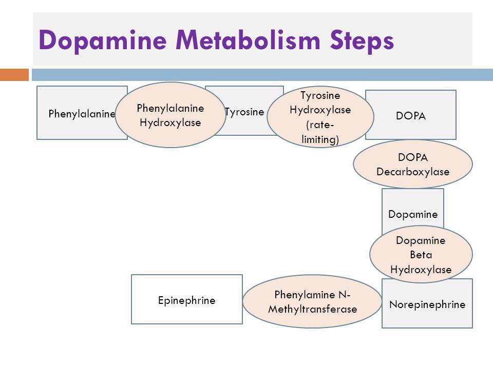 Dopamine Metabolism Steps Phenylalanine Tyrosine DOPA Dopamine Norepinephrine Phenylalanine Hydroxylase Tyrosine Hydroxylase (rate- limiting) DOPA Decarboxylase Dopamine Beta Hydroxylase Phenylamine N- Methyltransferase Epinephrine