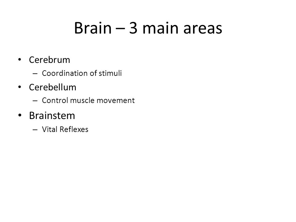 Brain – 3 main areas Cerebrum – Coordination of stimuli Cerebellum – Control muscle movement Brainstem – Vital Reflexes