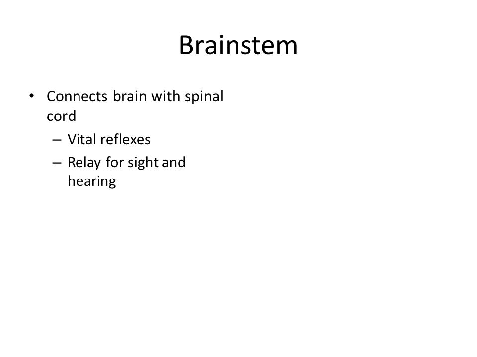 Brainstem Connects brain with spinal cord – Vital reflexes – Relay for sight and hearing