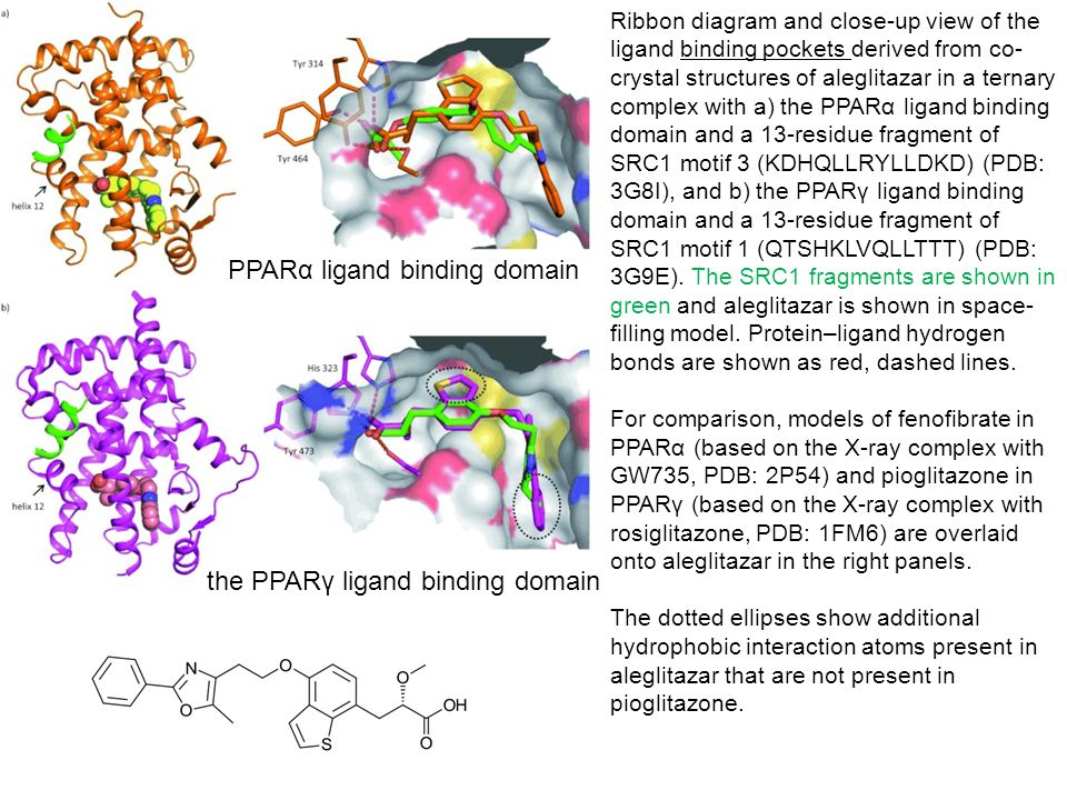 Ribbon diagram and close-up view of the ligand binding pockets derived from co- crystal structures of aleglitazar in a ternary complex with a) the PPA