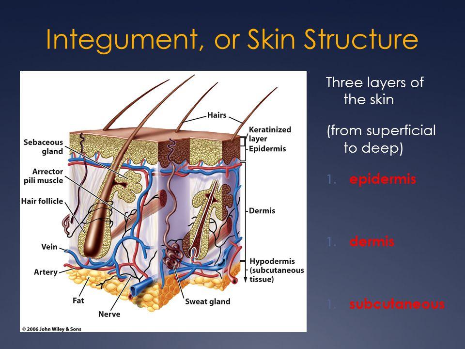 Skin Structure Terms adip/o lip/o steat/o cutane/o dermat/o derm/o hidr/o sudor/o seb/o onych/o Pil/o trich/o