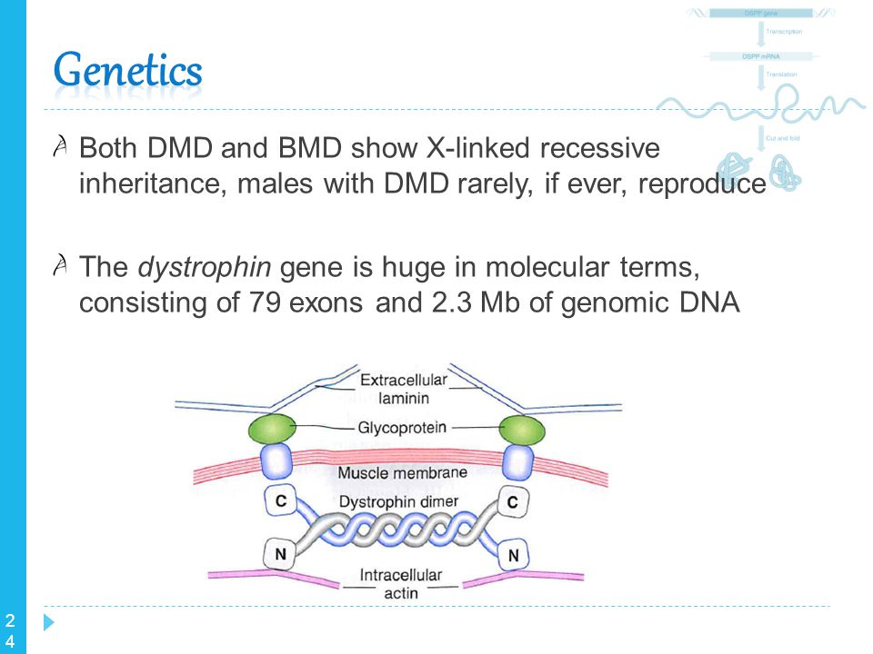 24 Both DMD and BMD show X-linked recessive inheritance, males with DMD rarely, if ever, reproduce The dystrophin gene is huge in molecular terms, con