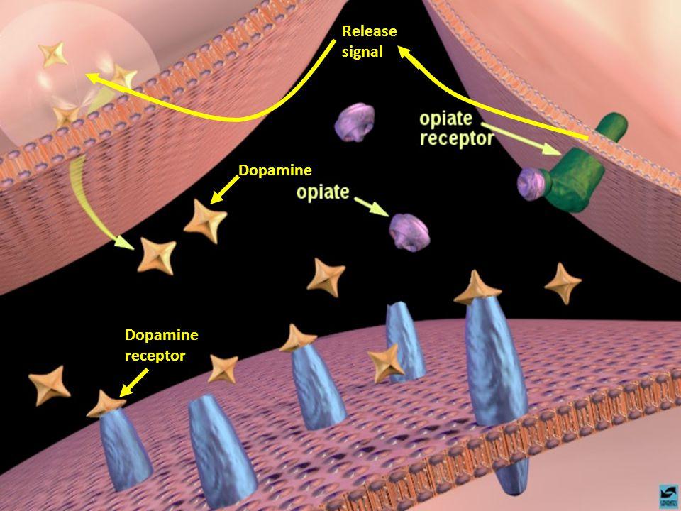 Gary D. Helmbrecht, M.D. www.Prenataldiagnosiscenter.com Dopamine receptor Release signal