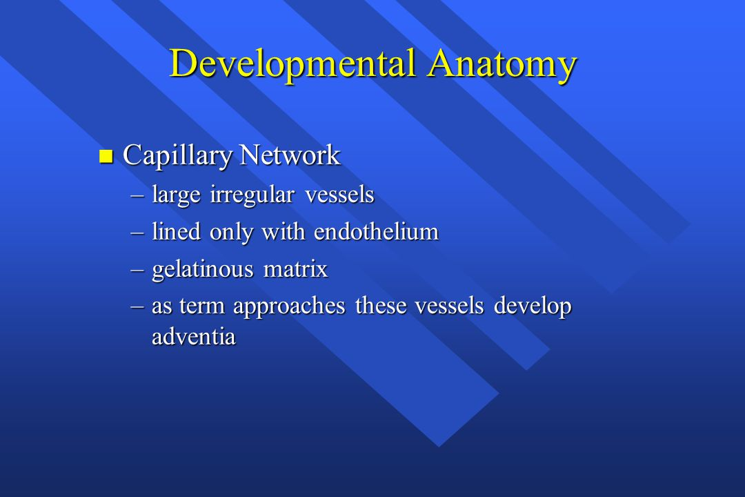Developmental Anatomy n Capillary Network –large irregular vessels –lined only with endothelium –gelatinous matrix –as term approaches these vessels d