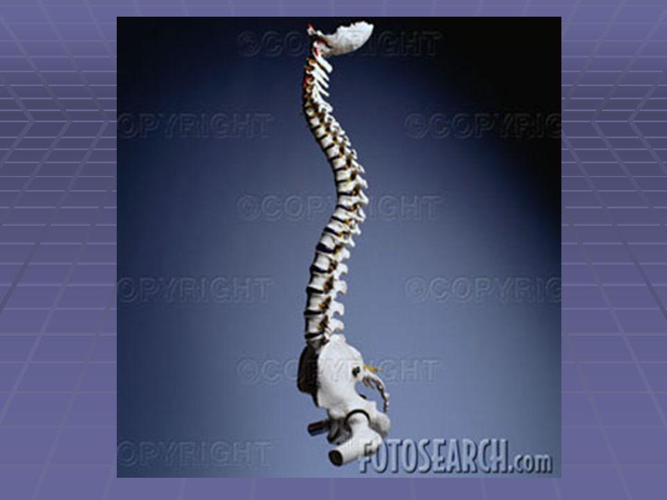 BRAIN  Gyrus: Peaks of the folds, ridges.  Sulcus: furrow or groove between gyrus