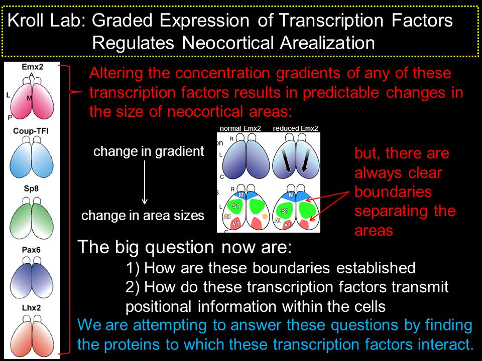 Kroll Lab: Graded Expression of Transcription Factors Regulates Neocortical Arealization Altering the concentration gradients of any of these transcri