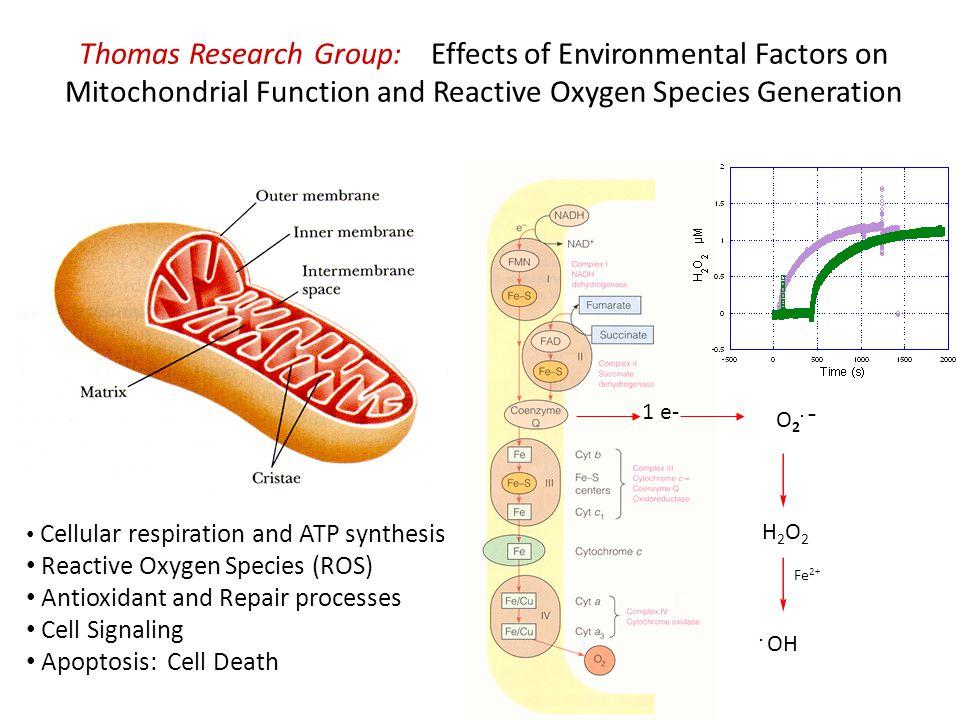 Mitochondrial Energetics & ROS