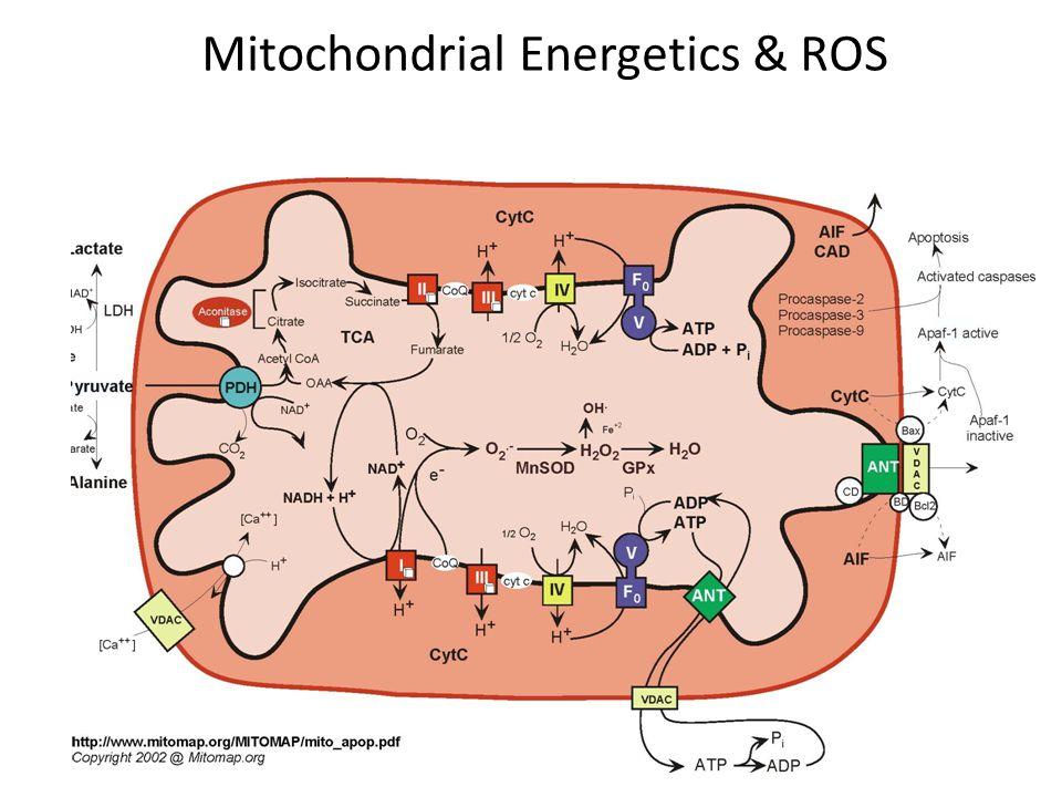 Aerobic organisms have engineered antioxidant defenses against ROS Superoxide Dismutase (MnSOD) 2O 2.- + 2H +  H 2 O 2 + O 2 Glutathione Peroxidase (GPx) GSH = intracellular thiol H 2 O 2 + 2 GSH  2 H 2 O + GSSG Glutathione Reductase NADPH, H + + GSSG  2 GSH + NADP + Nicotinamide Nucleotide Transhydrogenase NADH, H + → NAD + + NADPH, H + facilitates GSH recycling and removal of H 2 O 2