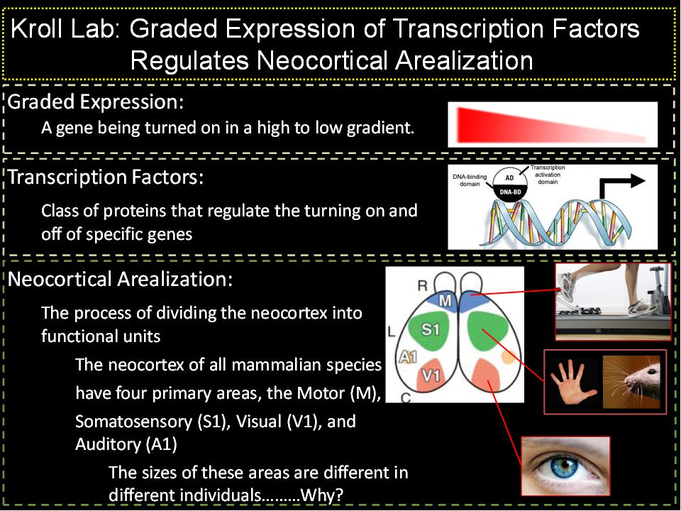 Kroll Lab: Graded Expression of Transcription Factors Regulates Neocortical Arealization Altering the concentration gradients of any of these transcription factors results in predictable changes in the size of neocortical areas: normal Emx2 reduced Emx2 change in gradient change in area sizes The big question now are: 1) How are these boundaries established 2) How do these transcription factors transmit positional information within the cells but, there are always clear boundaries separating the areas We are attempting to answer these questions by finding the proteins to which these transcription factors interact.