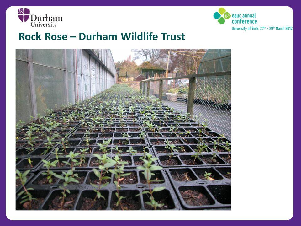 Rock Rose – Durham Wildlife Trust