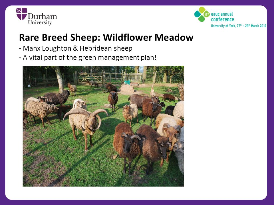 Rare Breed Sheep: Wildflower Meadow - Manx Loughton & Hebridean sheep - A vital part of the green management plan!