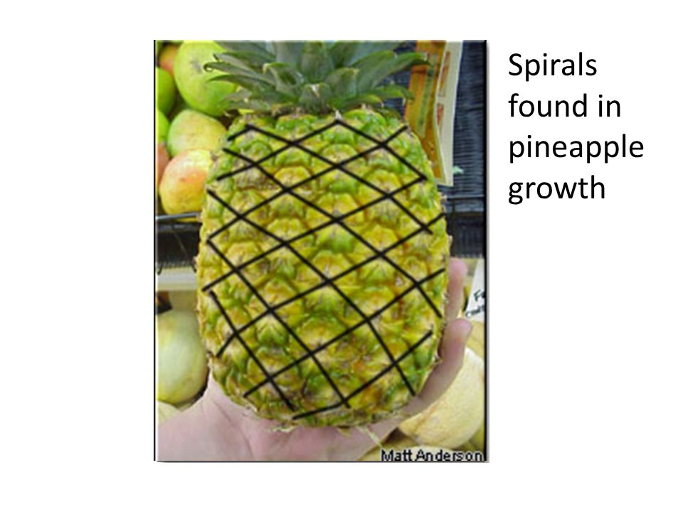 Spirals found in pineapple growth