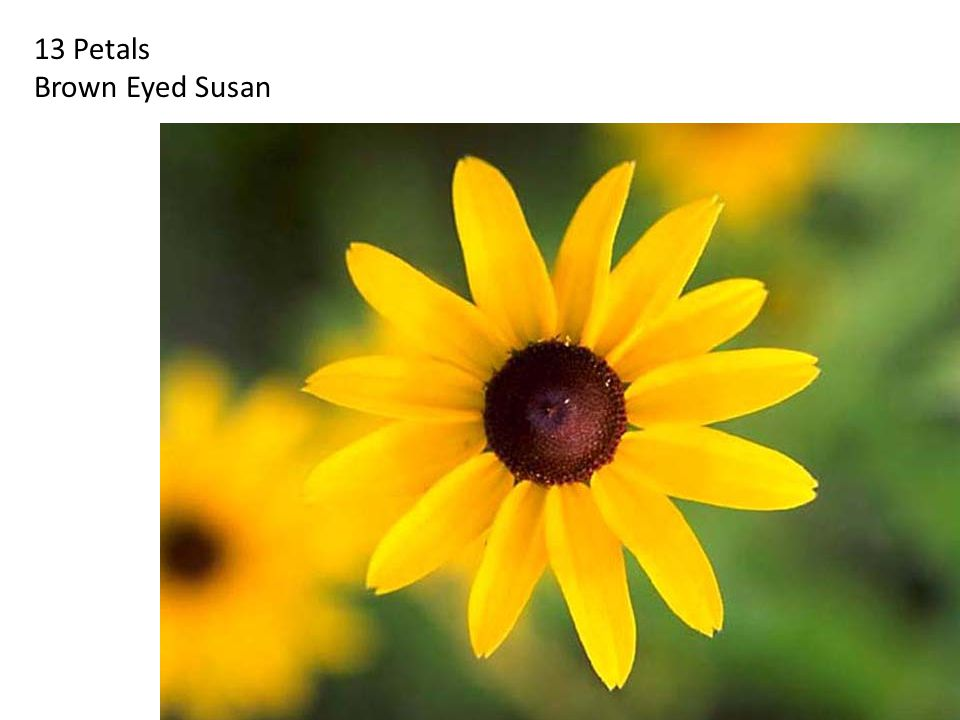 13 Petals Brown Eyed Susan