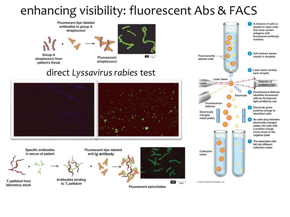 enhancing visibility: fluorescent Abs & FACS direct Lyssavirus rabies test