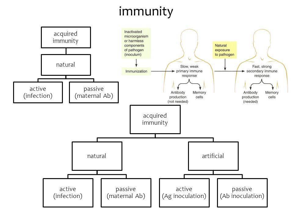 immunity acquired immunity natural active (infection) passive (maternal Ab) acquired immunity natural active (infection) passive (maternal Ab) artific
