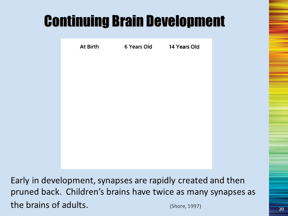 Continuing Brain Development Early in development, synapses are rapidly created and then pruned back.