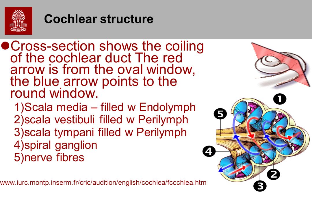 Cochlear structure Cross-section shows the coiling of the cochlear duct The red arrow is from the oval window, the blue arrow points to the round window.