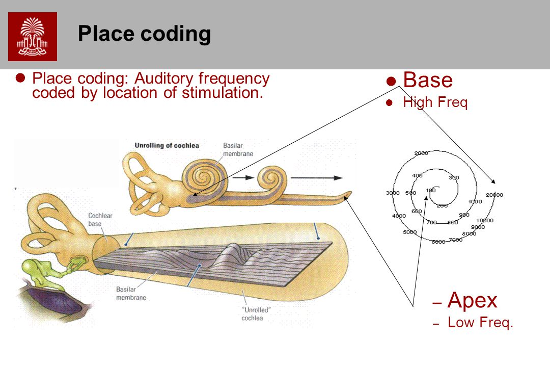 Place coding Place coding: Auditory frequency coded by location of stimulation.
