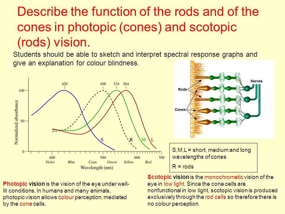 Describe the function of the rods and of the cones in photopic (cones) and scotopic (rods) vision. Students should be able to sketch and interpret spe