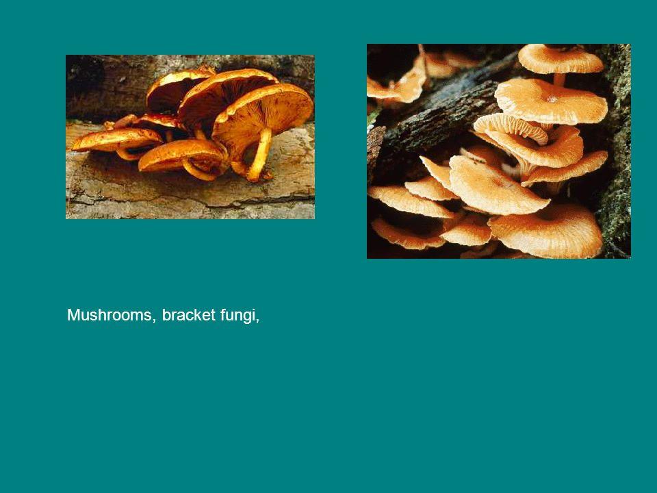 Mushrooms, bracket fungi,