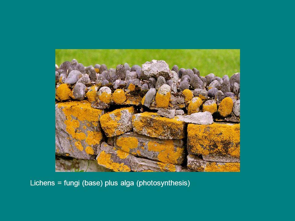 Lichens = fungi (base) plus alga (photosynthesis)