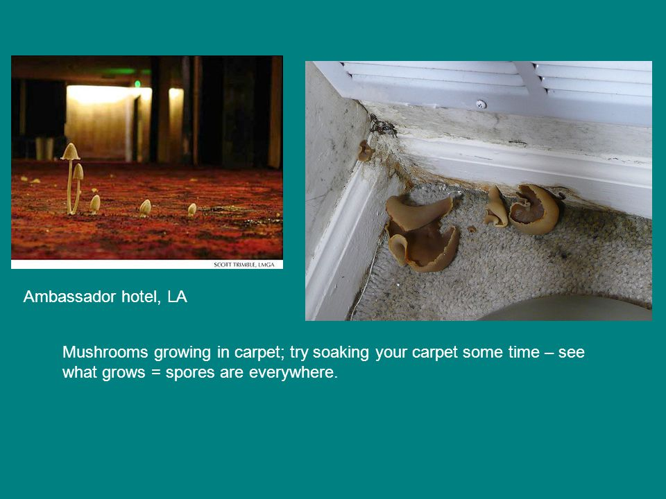 Mushrooms growing in carpet; try soaking your carpet some time – see what grows = spores are everywhere.