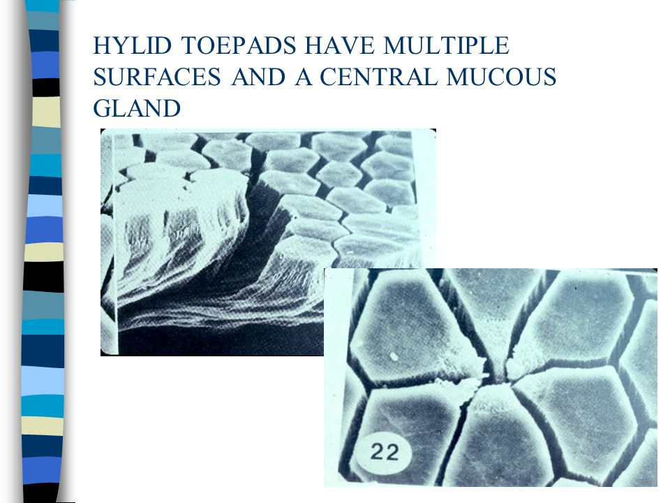 HYLID TOEPADS HAVE MULTIPLE SURFACES AND A CENTRAL MUCOUS GLAND