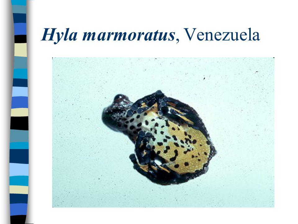Hyla marmoratus, Venezuela