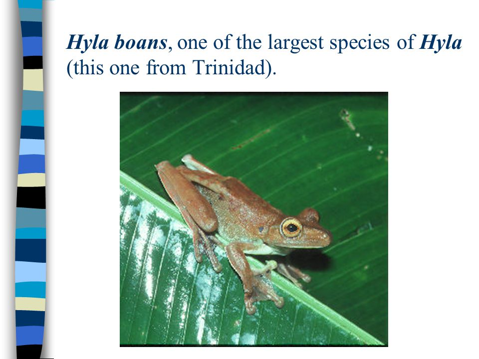 Hyla boans, one of the largest species of Hyla (this one from Trinidad).