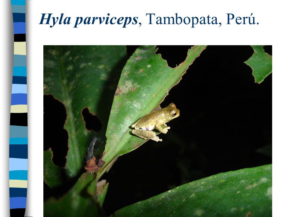 Hyla parviceps, Tambopata, Perú.