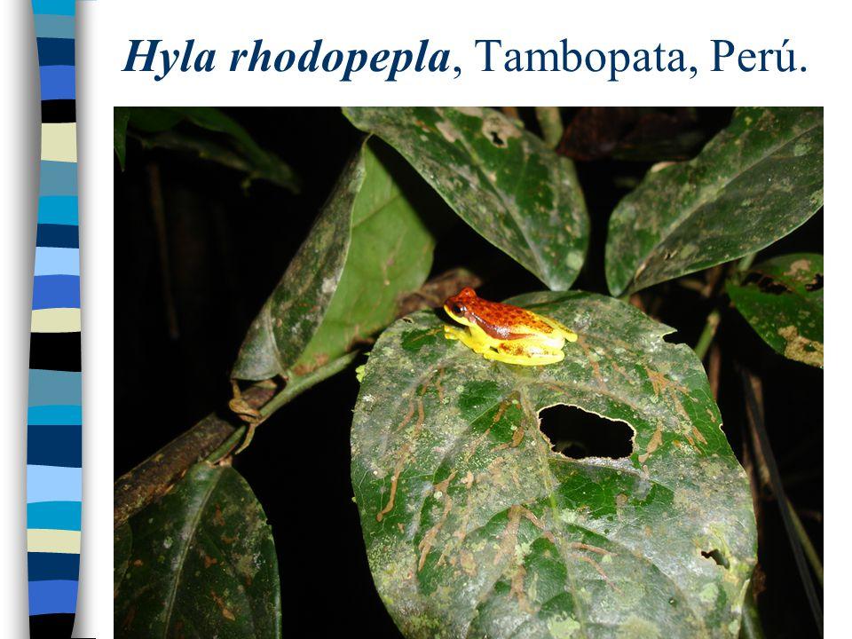 Hyla rhodopepla, Tambopata, Perú.