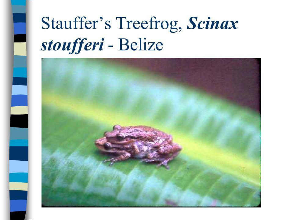 Stauffer's Treefrog, Scinax stoufferi - Belize
