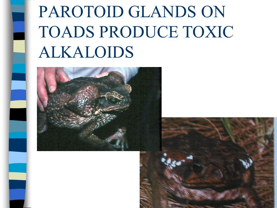 Taken in large amounts, the alkaloids are potentially deadly.