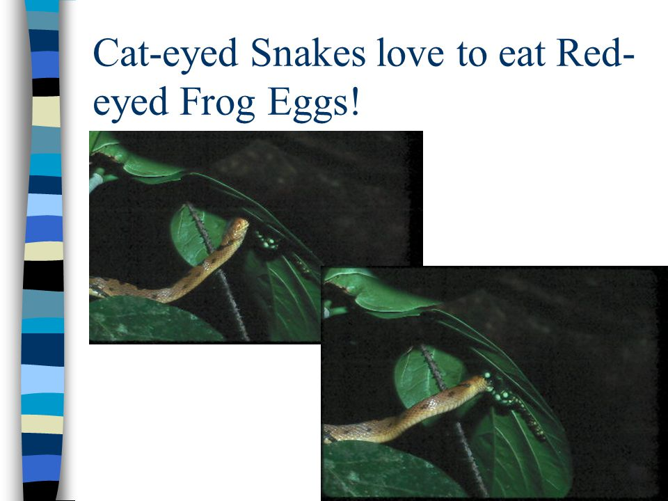 Cat-eyed Snakes love to eat Red- eyed Frog Eggs!