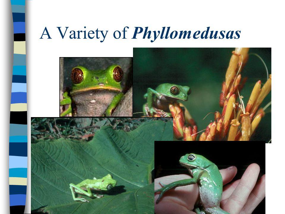 A Variety of Phyllomedusas
