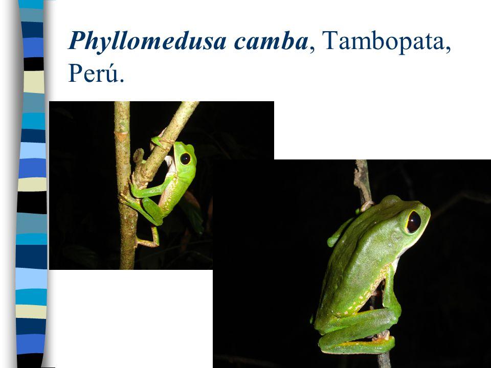 Phyllomedusa camba, Tambopata, Perú.
