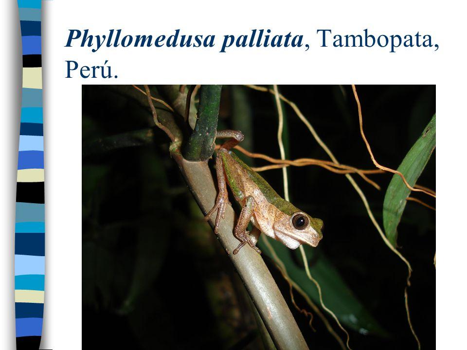 Phyllomedusa palliata, Tambopata, Perú.