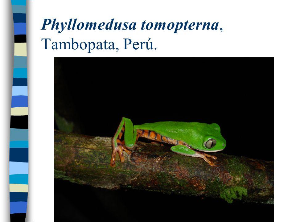 Phyllomedusa tomopterna, Tambopata, Perú.